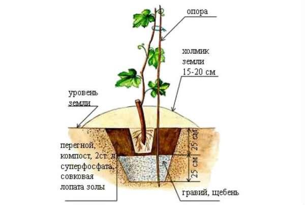 Как посадить виноград из черенков в домашних условиях 941